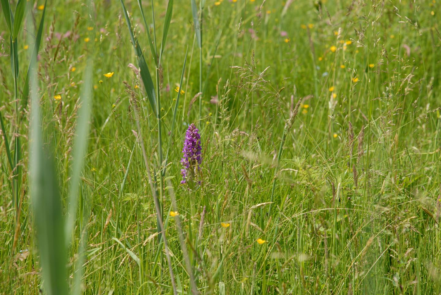 Orchid rich meadow, marsh orchid