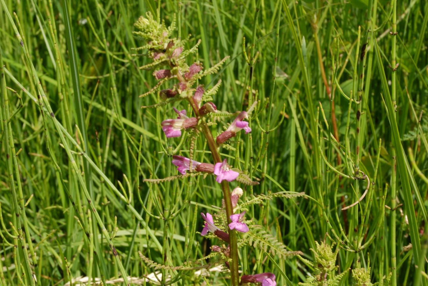 Red-rattle or Marsh lousewort