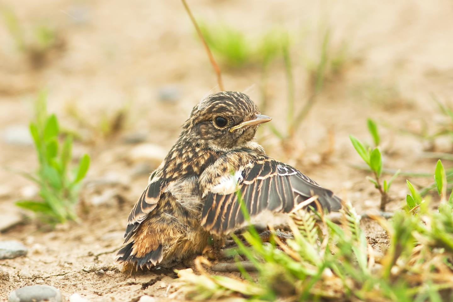 Young stonechat on the ground